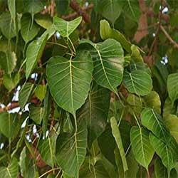 bihar state tree, peepal