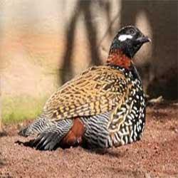 haryana state bird