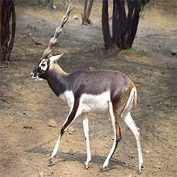 Haryana State Animal