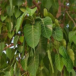 Haryana State Tree
