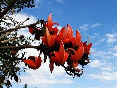 Butea Monosperma Flame of the Forest Palash